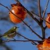 日本 柿の実とメジロ
