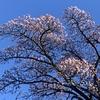 熱海 桜  五分咲