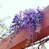 藤の花の季節☆