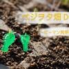 ベジヲタ畑 Day8 ~ピーマン発芽!~