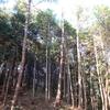 山林の松枯れ