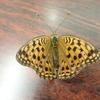 珍しい蝶ウラギンヒョウモンとの遭遇! 他のヒョウ柄の蝶たちと比べてみよう