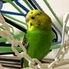 眉毛が消え、そして誰だが分からなくなった。。。セキセイインコの成長過程の羽の色の変化を見る。