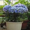紫陽花と雛鳥