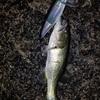 11/30琵琶湖ナイト🔥釣れるは釣れるが脳汁出るまでは…(ポンヨウI氏,F氏)