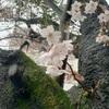 桜の開花と春の嵐