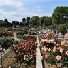 満開のばら!5月の敷島公園のばら園再訪。