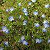 青い花が咲きそうで