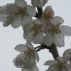 4/6    サクランボの花が咲き始めた。