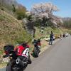 越代の桜とランチツー。