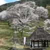 佛隆寺と千年桜