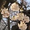 来年の桜の約束