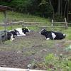 牛の開放と薪の積替え