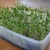 ブロッコリースプラウトが収穫時期に!