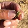 無農薬のお米の籾擦りしました