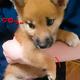 待望の柴犬をお家に迎えました〜 わんちゃん購入初期費用は。。
