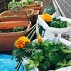 開始3週間目の菜園日誌、成長力が凄まじい!ただひとつ、懸念事項が[プランター菜園]