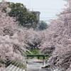 桜吹雪 - 高田千本桜