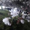 【雑記】夜桜を見てきた