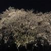 六義園の巨大桜