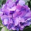 またまた  紫陽花