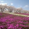 北区の穴場お花見スポットは赤羽桜堤緑地【桜と芝桜のコラボレーション】