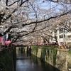 目黒川の桜まつり 🌸🌸🌸 Beautiful Sakura along the Meguro River 2019
