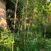 Tomの朝仕事 -竹の処分とキウイの剪定ー