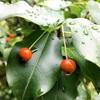 ソヨゴの赤い実