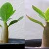 実生アデニウム 種まきから2.5ヶ月