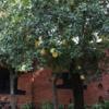 ネパ-ルの樹木と花 第11回目