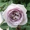 """【庭】Rosa.min """" Winter Magic """""""