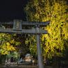 三栖神社の大イチョウの色付き(ちょっと早め)@2019