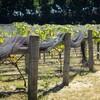 ブドウの収穫のお手伝いに行った…けど終わっていた