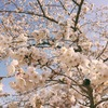 相馬の桜、見頃です!
