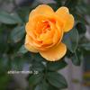 12月のユリイカ【バラ】