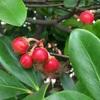 赤い実の赤(4)