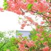 思い出の八重桜