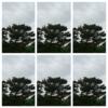 松の木×6本