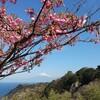 冠雪の富士山と土肥桜