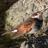 ツグミの羽根、ムクドリのまつ毛、スズメのマフラー
