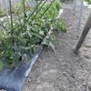 なす畝の除草