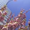 今シーズン 最後の 桜かなぁ。。。
