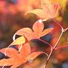 もみじ 紅葉 autumn color