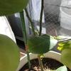 新しい葉っぱ登場!|室内で鉢植えレモン『アレンユーレカレモン』栽培