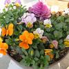 寄せ植えとベアグラスの花