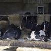 乳牛の飼料設計を講義します