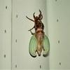 【閲覧注意】蝉の羽化する瞬間を撮影してみた