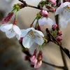 手賀沼遊歩道のソメイヨシノの桜花と葉っぱを食べる?ウグイス