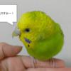 【鳥さん】毎日の健康チェックは飼い主さんにしかできません!鳥さんのココを見よう!